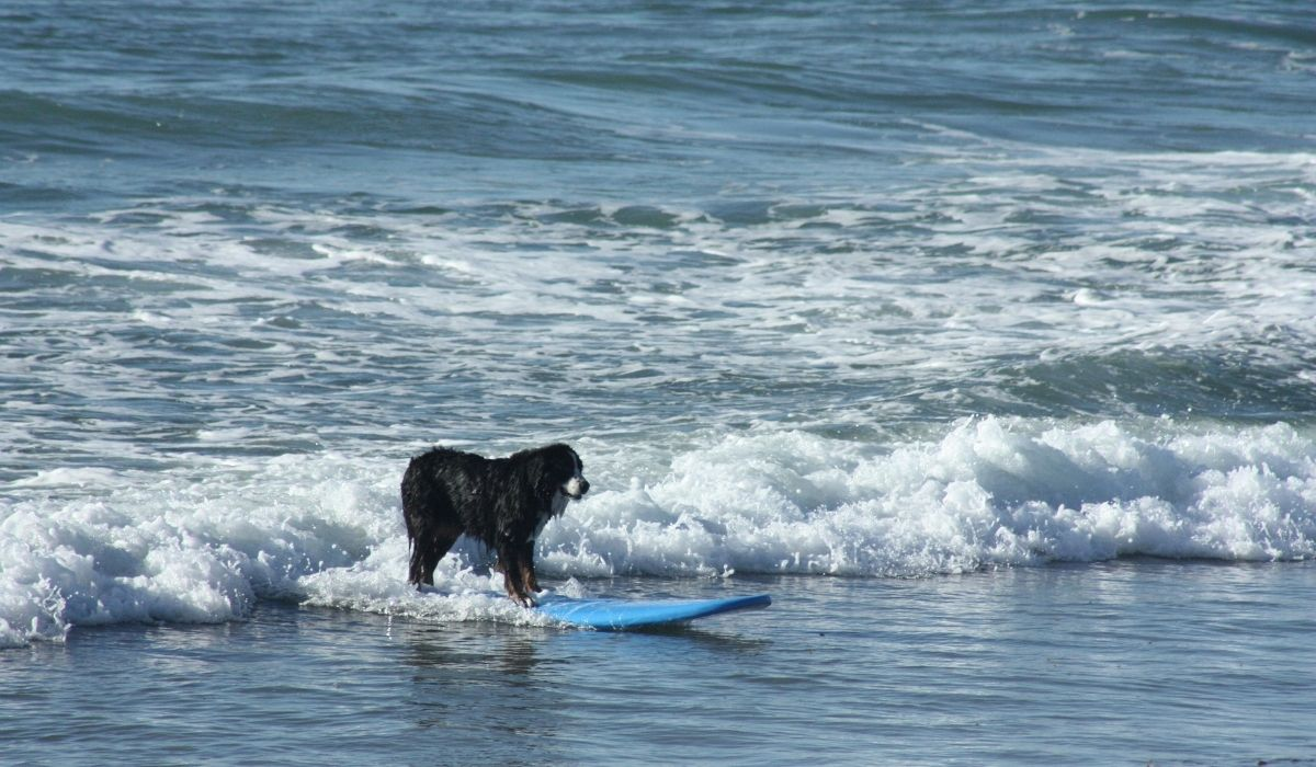 a surfer dog on a surfboard surfing