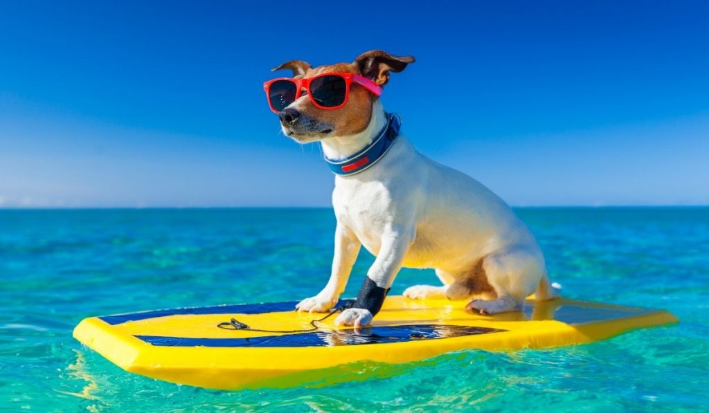 a surfer dog wearing sunglasses and on a surfboard
