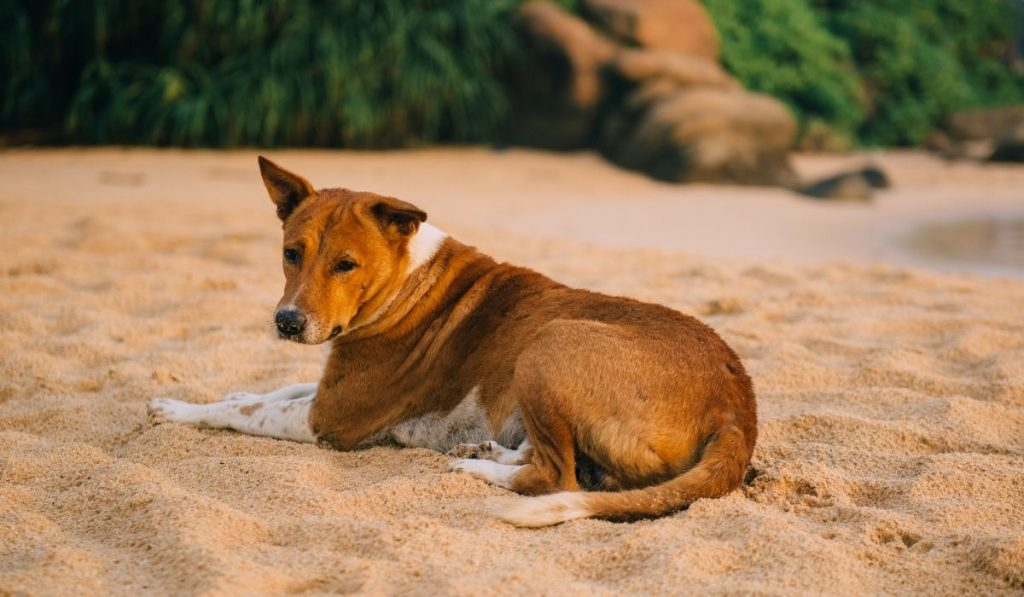 tropical dog relaxing on the sand