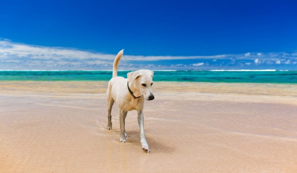 white dog walking on the sand and water